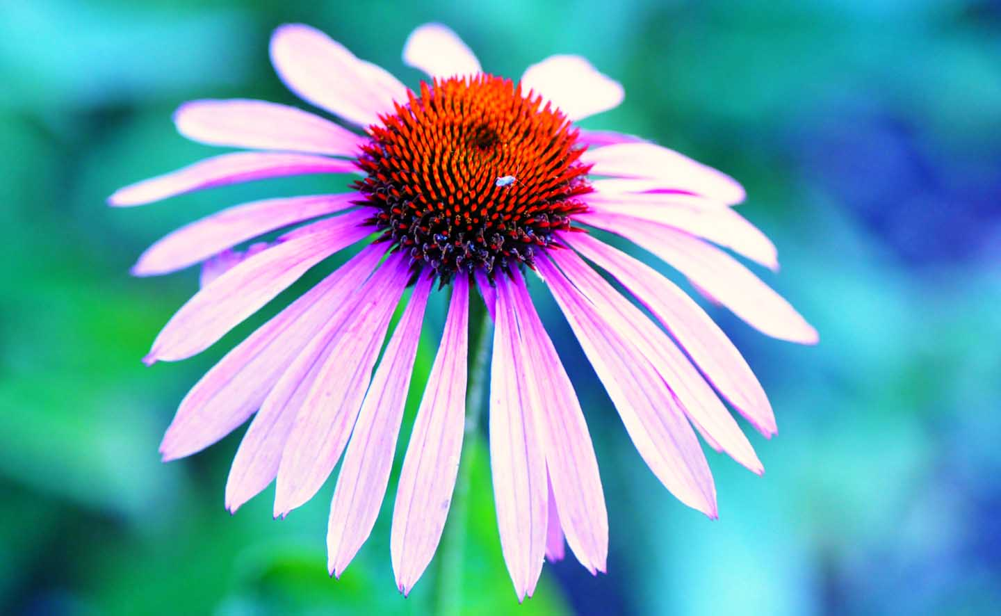 An Echinacea flower - Photo by Mabel Amber from Pexels