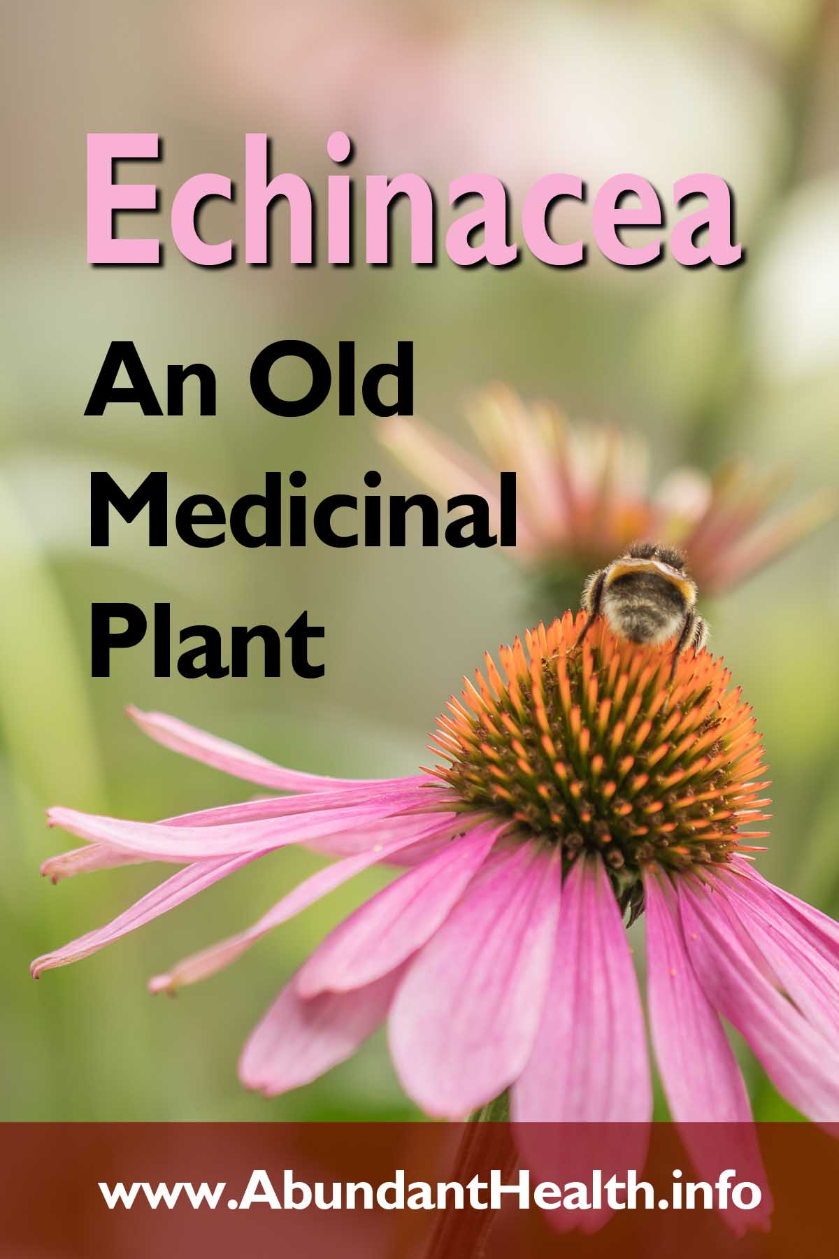 Echinacea - An Old Medicinal Plant