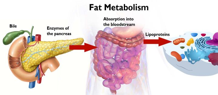 Diagram of the Fat Metabolism